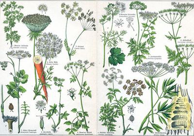 Vaistinių augalų skirstymas
