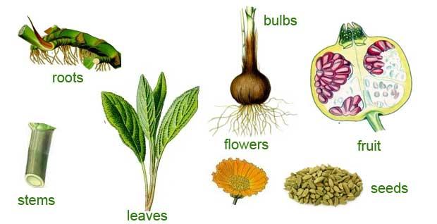 Gydančios vaistinių augalų dalys