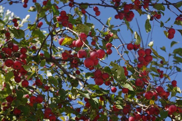 Miškinė obelis