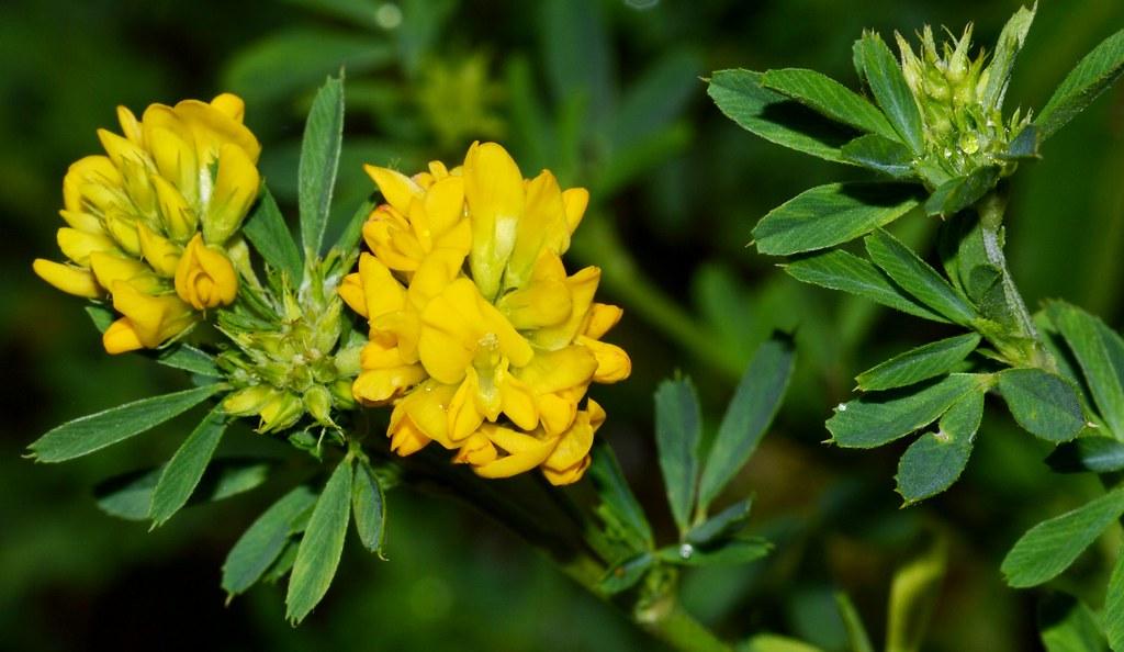 Geltonžiedė liucerna